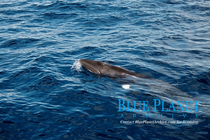 minke whale, Balaenoptera acutorostrata, showing white band on pectoral fin, Azores Island, Portugal, North Atlantic
