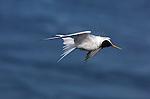 Elegant Tern Shakeoff, Bolsa Chica Wildlife Refuge, Southern California