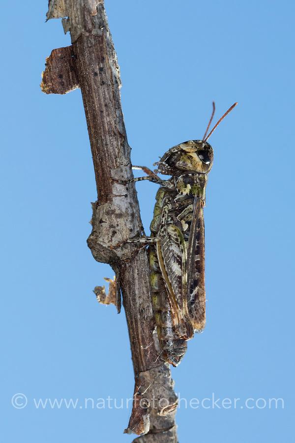 Gefleckte Keulenschrecke, Myrmeleotettix maculatus, Gomphocerus maculatus, mottled grasshopper