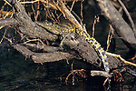 Young Crocodile