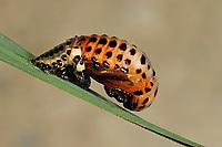 Pappelblatt-Käfer, Roter Pappelblattkäfer, Puppe, Chrysomela populi, Melasoma populi, Red poplar leaf-beetle, poplar leaf beetle, poplar beetle, pupa, pupae