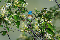 Male Lazuli Bunting (Passerina amoena) in wild chokecherry bush.  Western U.S., summer.