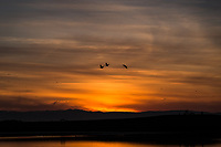 Three Canada Geese  captured in flight against a sunset painted sky along San Francisco Bay.