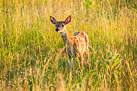 White-tailed fawn, Big Meadows