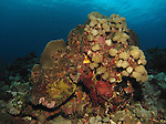 Orchid Island, Taiwan -- Coral head on a reef wall.