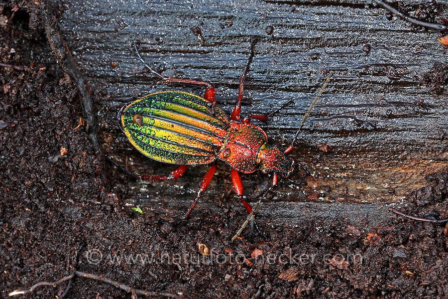 Goldglänzender Laufkäfer, Carabus auronitens, golden ground beetle