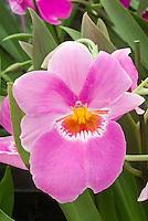 Miltoniopsis Second Love 'Tokimeki' pink orchid hybrid