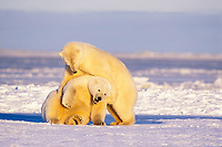 polar bear, Ursus maritimus, adults play on the pack ice of the frozen coastal plain, 1002 area of the Arctic National Wildlife Refuge, Alaska, polar bear, Ursus maritimus