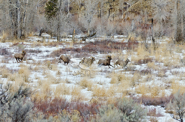 Bighorn Sheep rams chasing ewe that they think is ready to mate (estrus).  U.S. Rocky Mountains, December.