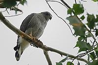 Gray Hawk, Big Bend National Park, Texas