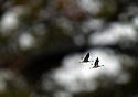 Two Sandhill Cranes in the Seney Wildlife Refuge in Michigan's Upper Peninsula. Photo by<br /> SUSAN TUSA