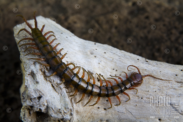 Poisonous centipede on a piece of wood