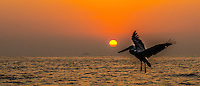 Fine Art Print Photograph, of a Pelican flying over the ocean in front of a warm golden sunset in Puerto Vallarta, Mexico.