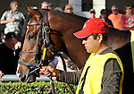 31 January 2009: Nicanor walks in the paddock prior to his first race, a maiden race at Gulfstream Park in Hallandale, Florida.
