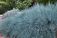 Ephedra equisetina, ma huang medicinal herb, aka Blue Stem Joint Fir, Bluestem Ephedra, gray foliage drought tolerant shrub in New Mexico backyard garden, design by Judith Phillips