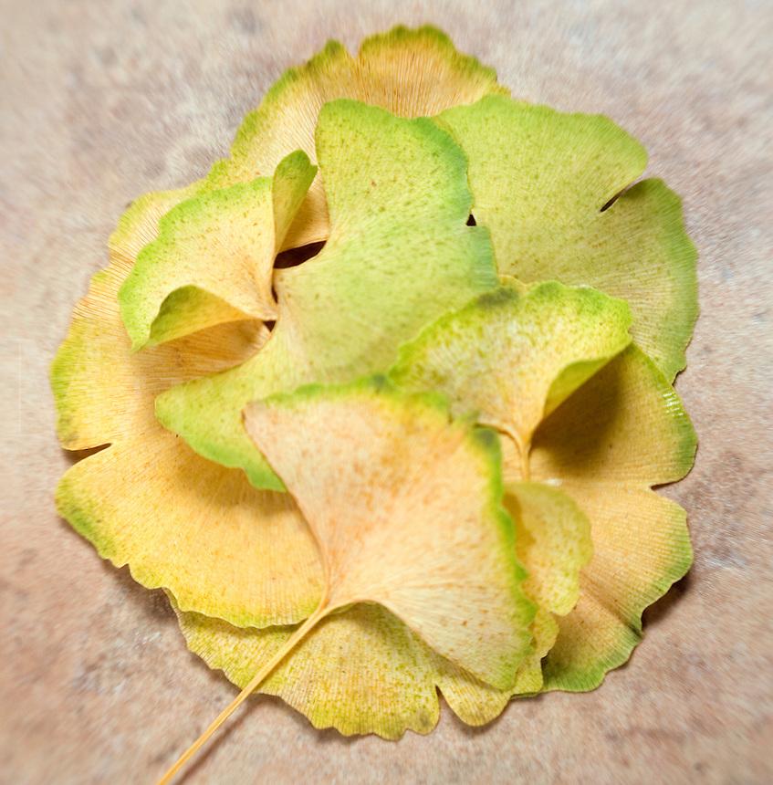 Ginkgo biloba Fall Leaves..