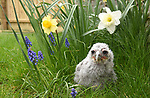 Pictured:  The Verreaux Eagle owlet at Liberty's amongst hyacinths and daffodils in the grass.<br /> <br /> Liberty's Owl, Raptor & Reptile Centre are celebrating the arrival of a Verreaux Eagle Owl which has hatched at the centre.  This is the first year that the centre in Ringwood, Hants, has had a Verreaux Eagle Owl hatch, after 20 years of having this breed of owl.<br /> <br /> The 21 day old chick has arrived ahead of Liberty's re-opening to the public on Monday (12th April) as lockdown restrictions are eased.  The owlet which is still having periods of being on heat had a few moments to enjoy spring, while sat amongst hyacinths and daffodils in the grass.  Visitors will be able to see the Verreaux Eagle parents, with mum still currently sitting on eggs.<br /> <br /> © Simon Czapp/Solent News & Photo Agency<br /> UK +44 (0) 2380 458800