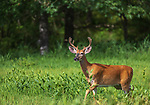 White-tailed buck walking in a northern Wisconsin field.