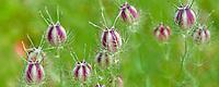 Seed heads. Hughes Water Gardens, Orergon