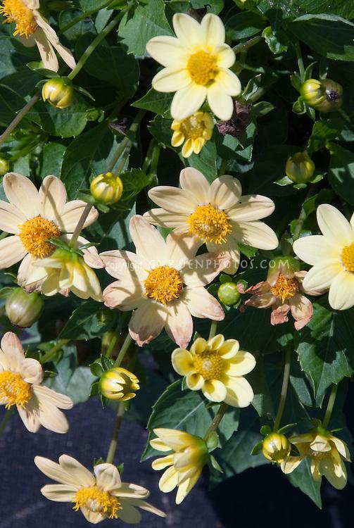 Dahlia 'Topmix Yellow' DwB