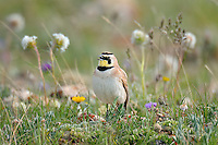 Male Horned Lark or Shore Lark (Eremophila alpestris) singing.  Western U.S., Summer.