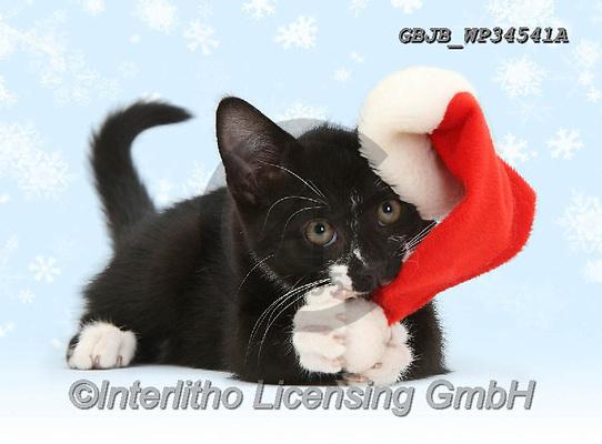 Kim, CHRISTMAS ANIMALS, WEIHNACHTEN TIERE, NAVIDAD ANIMALES, photos+++++,GBJBWP34541A,#xa#