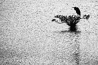 A lone heron perches on a bush n the marshes near Merritt Island, FL, March 2020.(Photo by Brian Cleary/bcpix.com)
