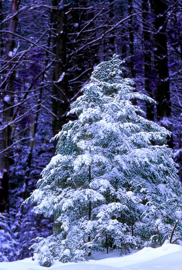 Evergreen tree in Underhill, VT
