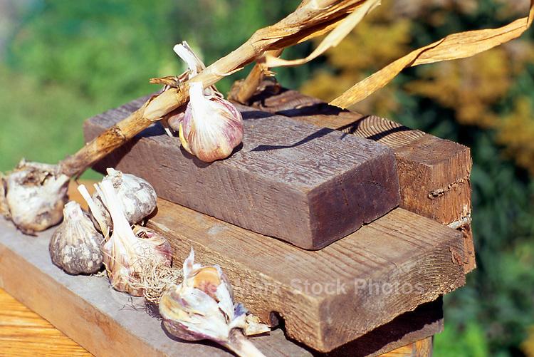 5th Annual Garlic Festival, August 2013 (hosted by The Sharing Farm) at Terra Nova Rural Park, Richmond, BC, British Columbia, Canada - Garlic Bulbs on Display