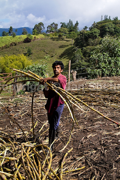 A Colombian peasant collects sugar cane stalks in the field before processing of panela in a rural sugar cane mill (trapiche) in San Agustín, Colombia, 18 April 2004. Panela, a solid block of raw, unrefined sugar, is made by cooking and evaporation of the sugar cane juice into a golden, sticky syrup which is then poured into the wooden molds and allowed to solidify. Having the taste like a cross between molasses and brown sugar, panela is served as a hot or cold infusion (aguapanela). Due to the large amounts of proteins, vitamins and minerals and thus, panela is believed to have healing powers. Cheaper than sugar, it is consumed by the majority of Colombians and it is a major source of calories for children from families with low socioeconomic status. With more than 70,000 farms that cultivate sugarcane for mills, panela production is an important economic activity in the Colombian countryside, employing around 350,000 people and being the second largest source of jobs after agricultural coffee production.