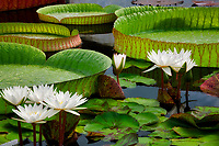 White tropical water lilies and large Amazon Lily leaves. Hughes Water Gardens, Oregon