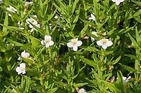 Gnadenkraut, Gottes-Gnadenkraut, Gratiola officinalis, Hedge Hyssop