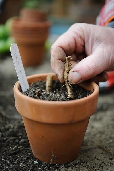 Taking a bare root cutting- Eryngium