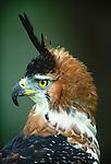 Ornate Hawk Eagle, Mexico