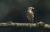 Common Redstart, Phoenicurus phoenicurus, male with insects, Kuessnacht, Switzerland, June 1995