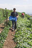 """Asie/Israël/Galilée/Rosh Pina/Safed: récolte des courgettes dans la ferme bio de l'Hotel Restaurant """"Mizpe Hayamim"""" créé par le docteur Yaros Yaroshlavsky dans les années 60"""