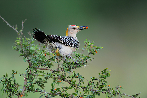 Golden-fronted Woodpecker (Melanerpes aurifrons), male eating berries, Dinero, Lake Corpus Christi, South Texas, USA