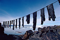 Large strips of Narwhal, Monodon monoceros, meat hung up to dry in the summer air, will keep indefinitely. N.W. Greenland, Arctic