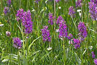 Breitblättriges Knabenkraut, Breitblätteriges Knabenkraut, Breitblättrige Fingerwurz, Orchideenwiese, Dactylorhiza majalis, western marsh orchid, broad-leaved marsh orchid, fan orchid, common marsh orchid, Irish Marsh-orchid, Le Dactylorhize à larges feuilles, Dactylorhize de mai, Orchis de mai