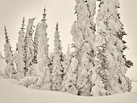 Heavy snow on trees. Mt. Rainier National Park, Washington