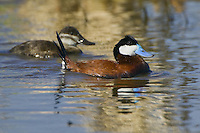 Ruddy Duck couple swimming on a lake