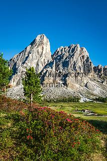 Italien, Suedtirol (Trentino - Alto Adige), am Wuerzjoch: Alpenrosenbluete vorm Peitlerkofel, im Hintergrund die Almhuette Munt de Fornella auf dem Peitlerkofel-Rundweg im Naturpark Puez-Geisler | Italy, South Tyrol (Trentino - Alto Adige), Dolomites, near mountain pass Passo delle Erbe: alpine rose blossom with Sass de Putia mountain and alpine pasture hut Munt de Fornella at Puez-Geisler Nature Park