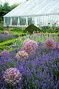 Allium cristophii and lavender, Arundel Castle Gardens, late June.