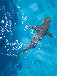 Tiger Beach, Grand Bahama Island, Bahamas; an overhead, aerial view of a lemon shark swimming at the water's surface, next to the shadow of the boat