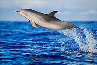Spotted Dolphin, Stenella frontalis, Leaping juvenille, Pico-Azores-Portugal, Atlantic Ocean