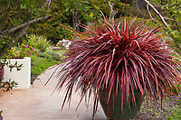 Cordyline 'Festival Grass' (syn. 'Red Fountain') burgundy red fountain grass, in urn container by path