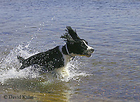 1023-06yy  English Springer Spaniel - © David Kuhn/Dwight Kuhn Photography