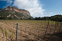 Europe/France/Provence-Alpes-Côte d'Azur/13/Bouches-du-Rhône/Cassis:  le vignoble du Clos Sainte Magdeleine  AOC Cassis- Mention Obligatoire