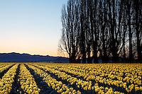 Poplar row and field of yellow dafodils at sunrise, Skagit Valley, Mount Vernon, Skagit County, Washington, USA
