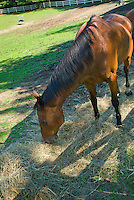 Farm animal horse eating hay in paddock pasture with fence
